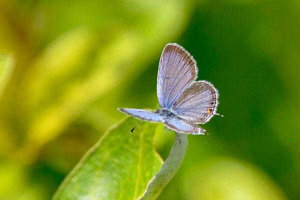 13 Eastern Tailed-Blue Deborah Bifulco.j