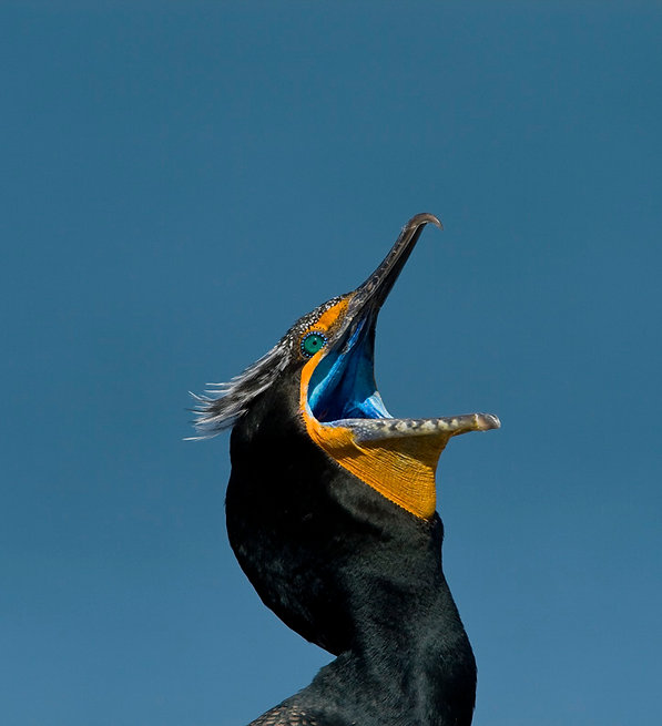 23 Double-crested Cormorant Gregory Smit