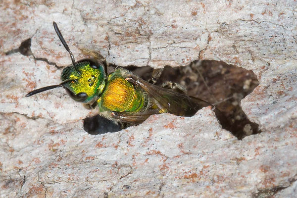 8 Green Sweat Bee in woodland nest Paula