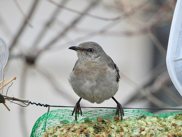8 Northern Mockingbird Gig Palileo.jpeg