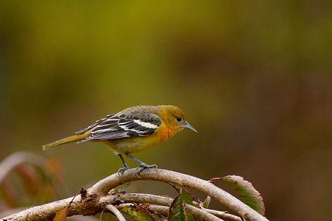 2  Baltimore Oriole fall plumage Deborah