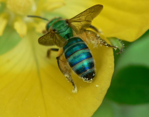 3 green Sweat Bee Gerald Carter.jpg