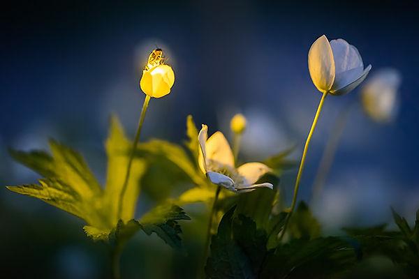 8 Firefly on a wood anemone Radim Schrei