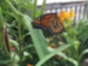 1 Monarch Butterfly Lucie Young.JPG