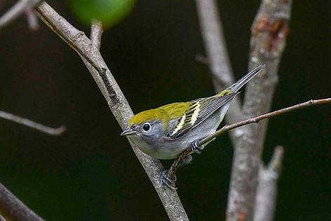 4 Chestnut-sided Warbler fall plumage De