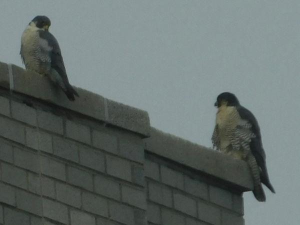 18 Peregrine Falcons Jay Zemann.JPG