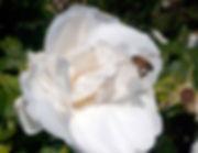 2 European Honey Bee Banford Weissmann.j