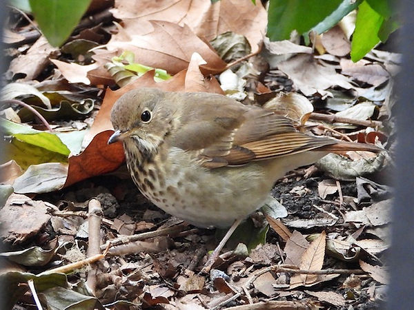 9 Hermit Thrush by Gig Palileo.jpeg