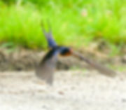 19 Barn Swallow Dr Barry Pinchefsky.jpeg