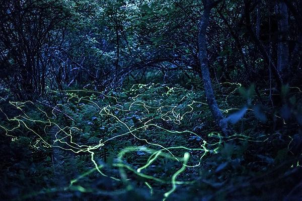 5 Blue Ghost fireflies float lowdown and