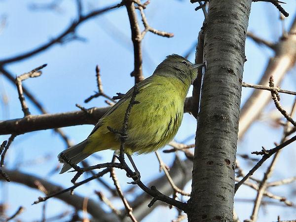 19 Orange-crowned Warbler feeding on sap