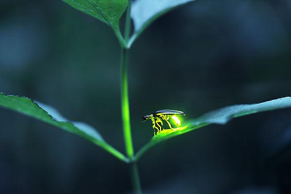 6 Photuris firefly with green lantern Ra