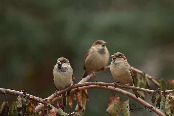 4 House Sparrows - Deborah E Bifulco.jpg