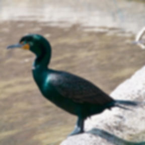 22 Double-crested Cormorant Dr Barry Pin