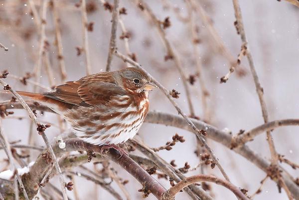 1 Fox Sparrow-  Deborah E Bifulco.jpg