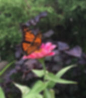 2 Monarch Butterfly Lucie Young.jpg
