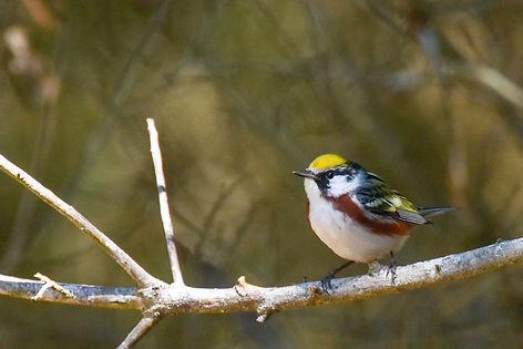 4 Chestnut-sided Warbler spring plumage
