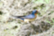 20 Barn Swallow collecting mud Dr Barry