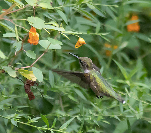 1 Ruby Throated Hummingbird close up Ter