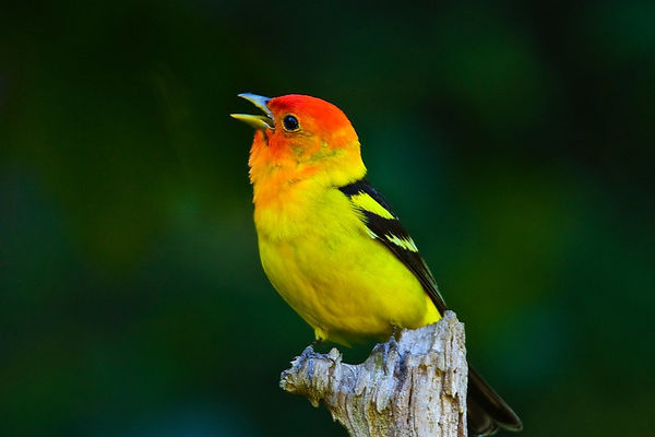 3 Western Tanager Male (spring plumage)