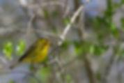 7 Prairie Warbler Deborah Bifulco.jpg
