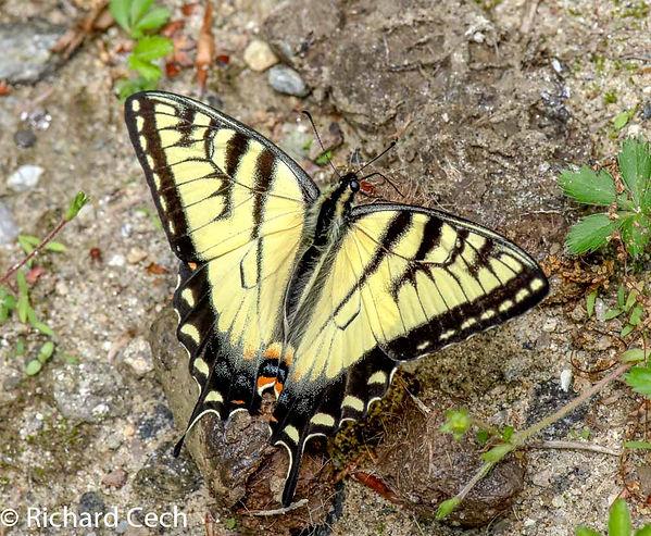 Tiger Swallowtail Richard Cech.jpg