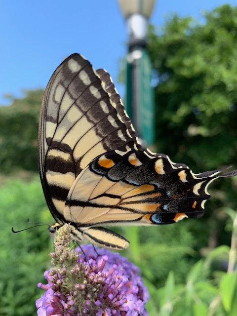 Eastern Tiger Swallowtail Lith Gontijo.j