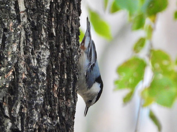 6 White-breasted Nuthatch by Gig Palileo