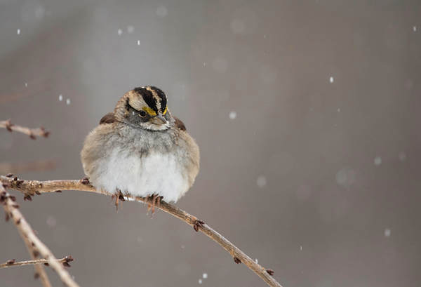 7 White-throated Sparrow - Deborah E Bif