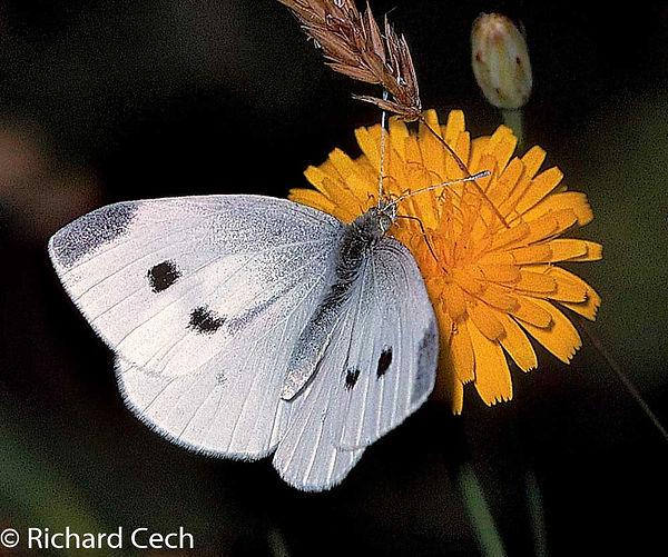 Cabbage White Richard Cech.jpg