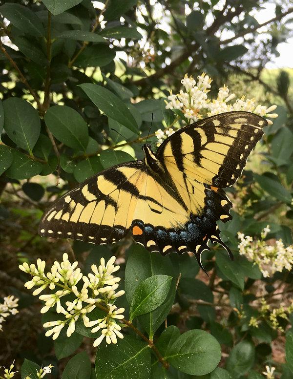11  Eastern Tiger Swallowtail Jeffrey Ev