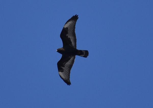 8 Rough Legged Hawk Flying Joseph Baider