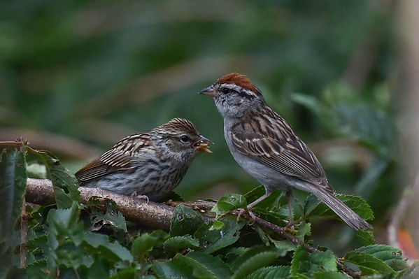 9 Chipping Sparrows - Deborah E Bifulco.