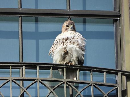 15 Red-tailed Hawk Gig Palileo.jpeg