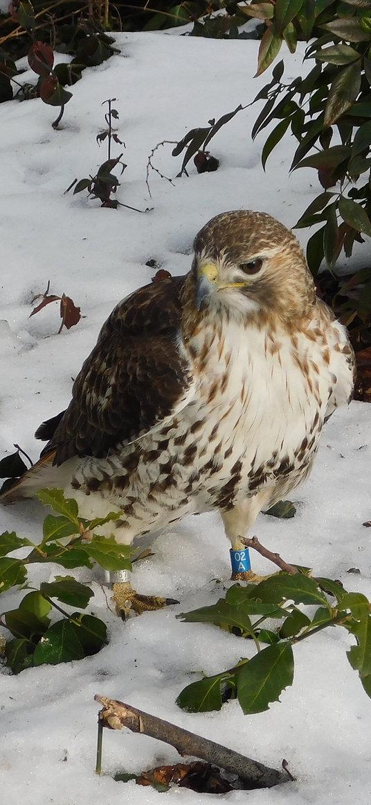 13 Red-tailed Hawk Jay Zemann.JPG