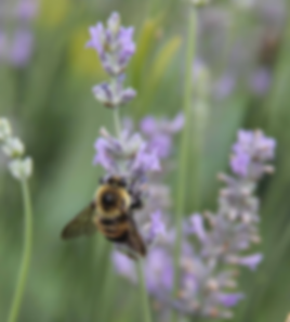 1 Brown-belted Bumble Bee on Lavender pl
