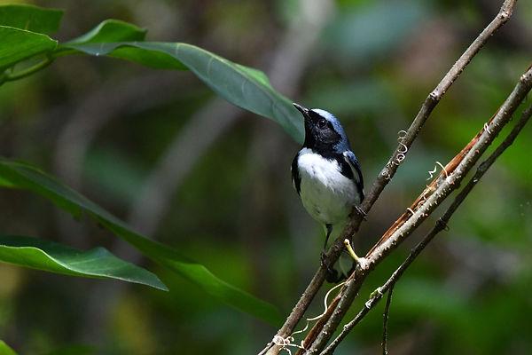 14 Black-throated Blue Warbler Deborah B