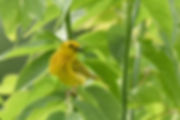 3 YellowWarblerMale Deborah E Bifulco.jp