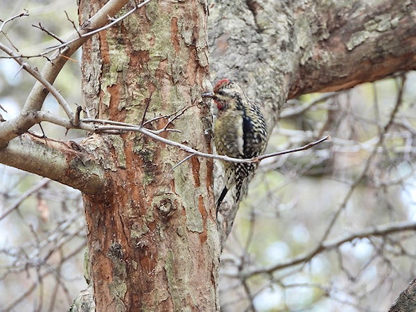 11 Yellow-bellied Sapsucker by Gig Palil