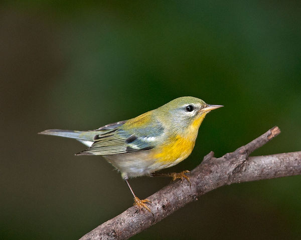 6 NorthernParula Russ Wigh.jpg