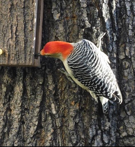 7 Red-bellied Woodpecker Jay Zemann.JPG