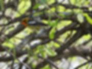 5 Blackburnian Warbler Richard Phillip N