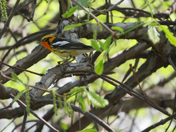 5 Blackburnian Warbler Richard Phillip N