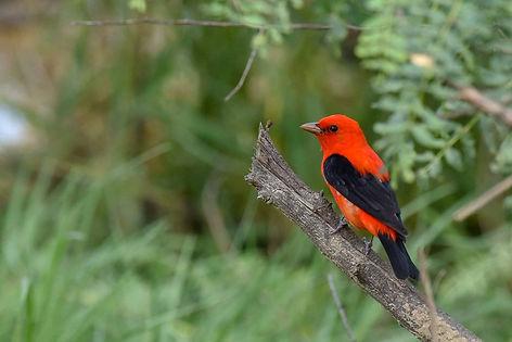 1 Scarlet Tanager spring plumage Deborah