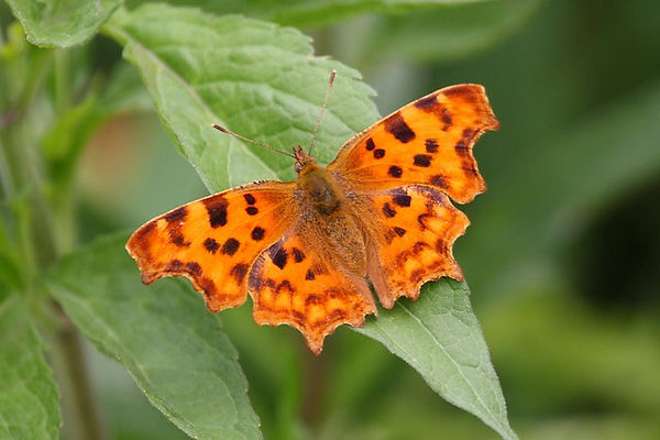 9 Comma Butterfly Bob Hall.jpg