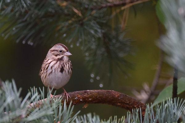 3 Song Sparrow - Deborah E Bifulco.jpg