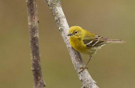 8 Pine Warbler spring plumage Deborah E