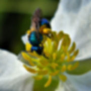 4 blue Sweat Bee  Bee Bob Peterson.jpg
