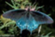 Pipevine Swallowtail Richard Cech.jpg