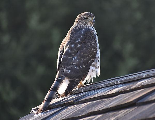 2Cooper's Hawk Joseph Baider.jpg